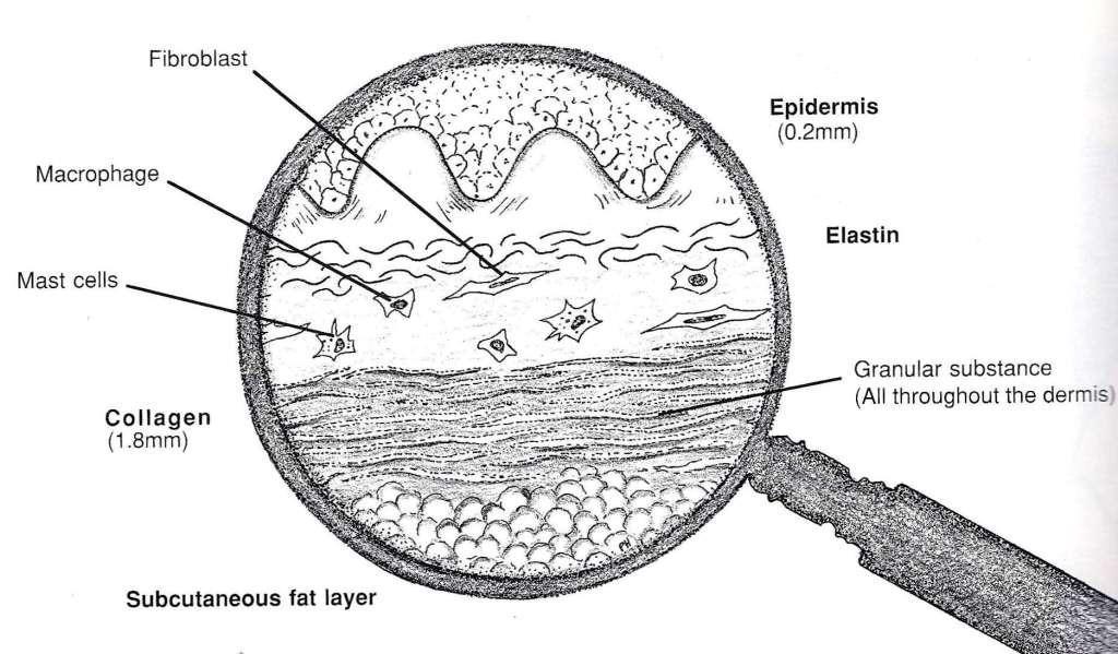 Fibroblasts in skin chart