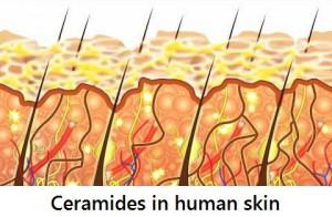 ceramides in human skin